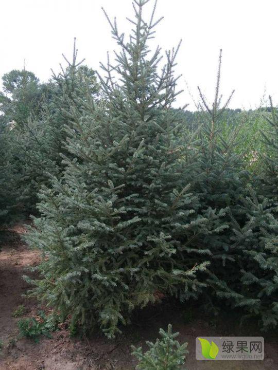 精品云杉:树形优美,成活率高。