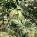 京欣西瓜大量供应中,保熟保熟,货源充足