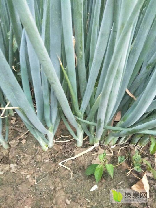 济宁附近刚葱苗子出售。