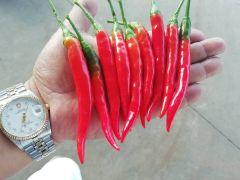 云南高原小米红辣椒,品质一流,5公斤起批
