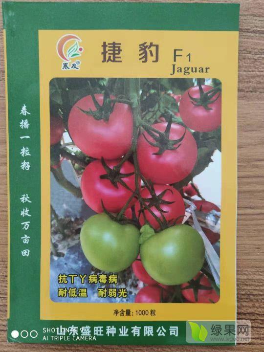 越冬一大茬專用番茄品種 大果早熟