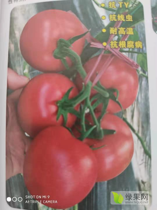 卡羅萊娜--耐熱早熟硬度好 大果硬粉番茄