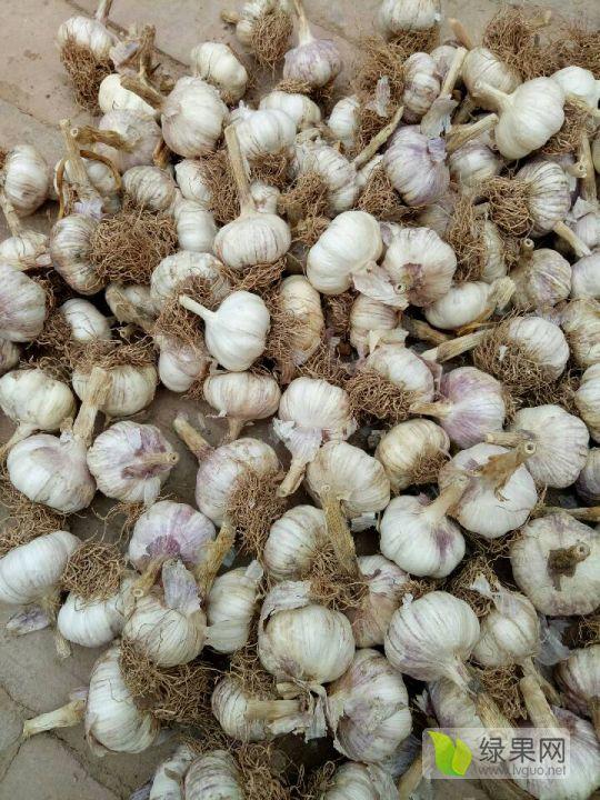 供應優質河北大名蒜種