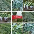 许昌鄢陵产地头茬西瓜大量上市,个大瓜甜,价格美丽,方便运