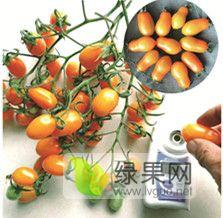 寒友509 抗TY特色小番茄 黃色花生果小番茄