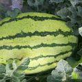宁夏中卫市石头隙里生长的硒沙瓜,个大,口感甜