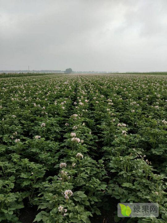 大量供应商品薯,种薯