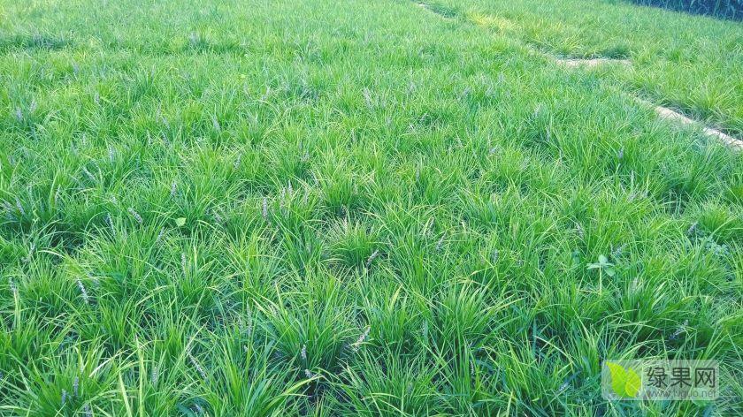 8月份上市的麥冬草產地貨多價實