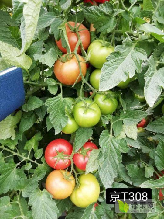 綠亨科技–番茄種子