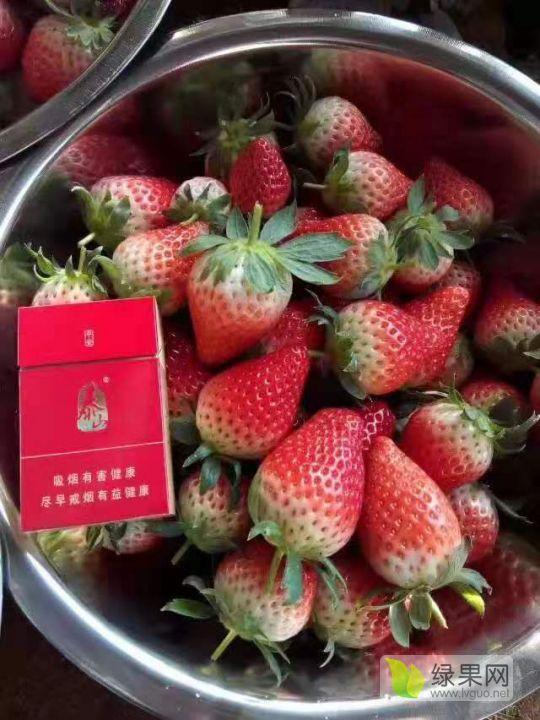 青島市優質甜寶草莓苗量大質優,自家大型農場