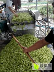 郯城毛豆角大量上市,品种有开心绿.早佳等