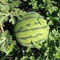 内蒙赤峰翁牛特旗千亩西瓜8月10日开园出售,种