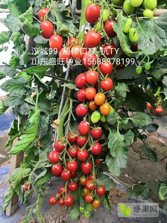 抗TY 抗死棵 抗線蟲 的超好口感小番茄