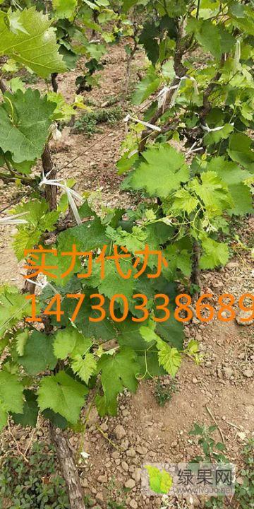 2到5年占地葡萄树联系14730338689