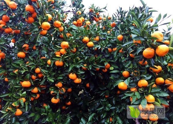 出售优质爱媛38号柑橘苗
