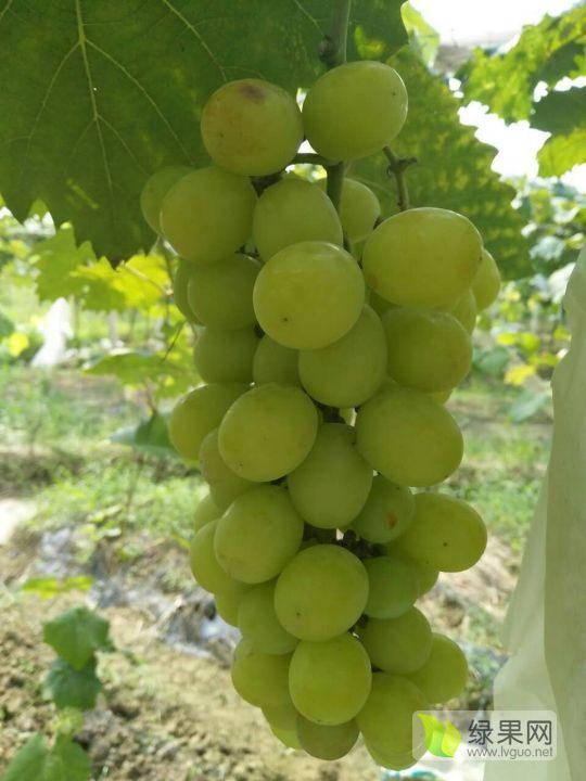 新品种阳光玫瑰葡萄苗 保证质量