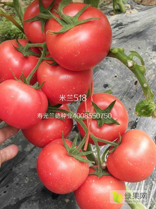 米兰518——精品率极高的硬粉番茄品种