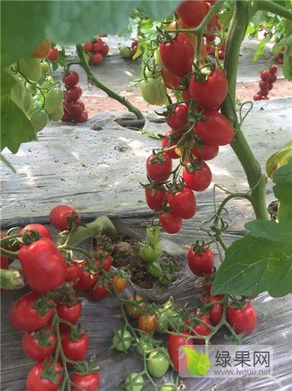 东营千禧小番茄苗 水果番茄苗基地