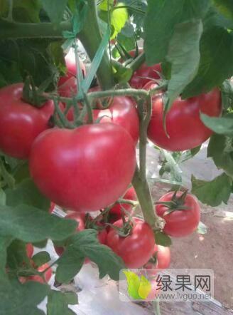 硬粉西红柿苗 育苗厂番茄种苗基地