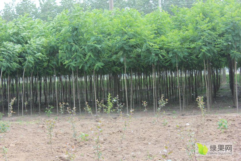 大量出售各种绿化苗木,专业苗木代办为您服务