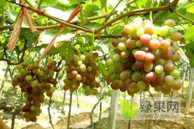葡萄基地供应多品种葡萄苗