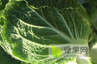 韩国黄心白菜价格