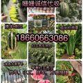 早春红玉西瓜 产地直供有质有量18660663086