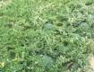 200亩原产地海南万宁无籽一级西瓜