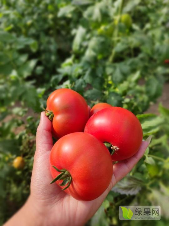 口感番茄种子戴安娜种子西红柿种子