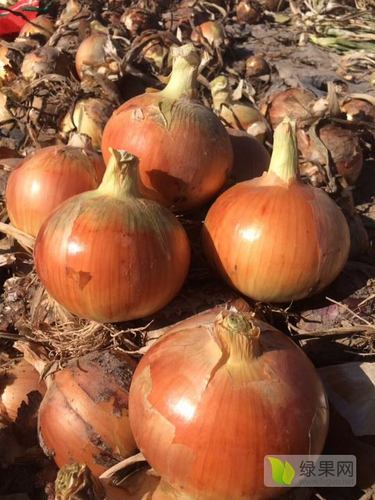 甘肃洋葱产区新报:甘肃洋葱移栽,以到高峰期