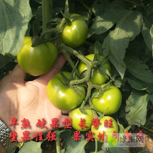 硬粉番茄种子,荷兰大果番茄品种,早熟西红柿种子