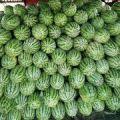 天门西瓜大量上市中,量大从优,货源充足,基地直供,品质可靠