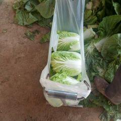 2021年河南春季绿色长白黄心菜大量上市求合作