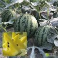 东台西瓜品种最全、质量最优、口感最好