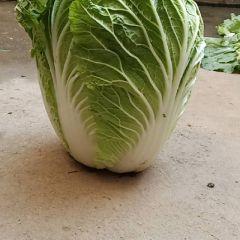 新野春白菜陆续大量上市供应