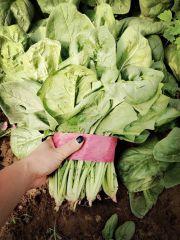 大叶菠菜价格