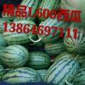 山东潍坊L 600西瓜产地批发价格便宜