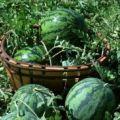 代收西瓜,代收!!大量农户西瓜,5月25日左右下瓜,价格合适