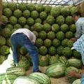 2020年宁夏中卫硒砂瓜,石头缝长出的大西瓜。