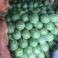 钟祥双红京城五 欢迎采购,主要上市有花瓜、无籽