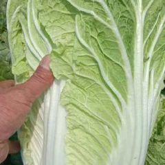 常年大量供应大白菜。