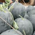 湖北 钟祥市出售黑皮无籽西瓜5到8斤