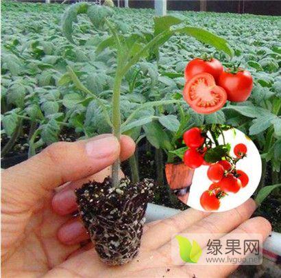 广州小西红柿苗育苗厂 釜山88番茄苗品种