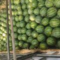 吉林省长岭县的西瓜大量上市了