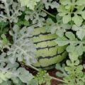 青岛大棚种植,头茬西瓜地,不嫁接西瓜