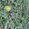 内蒙古翁牛特旗京欣 金城5号 甜瓜王 各种品种