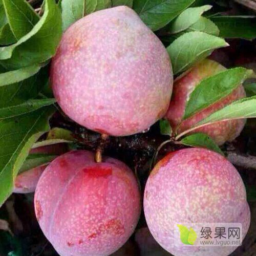李子苗品种桃形李树苗批发