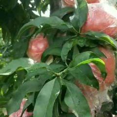 山西运城万荣临猗超越秦王蜜桃大量上市