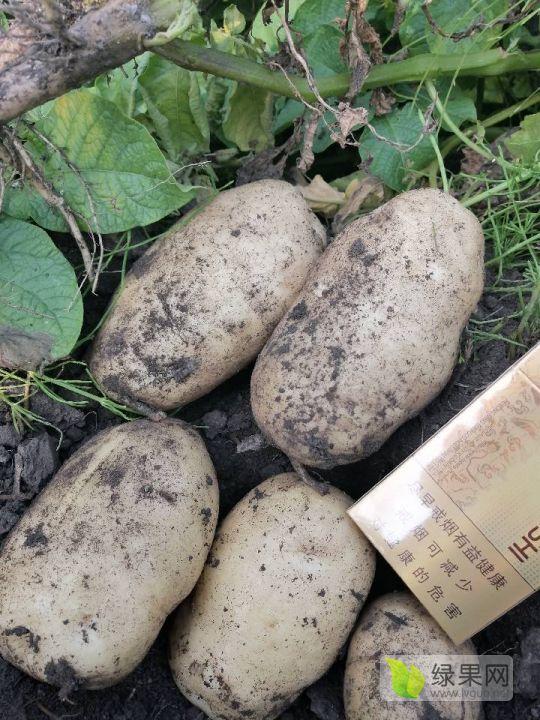 绥化土豆种子于洪刚于三