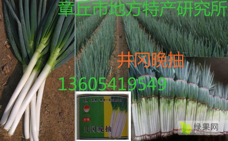 进口日本大葱种子井川一本井冈晚抽日本铁杆大葱种子